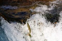 trucha rio sella